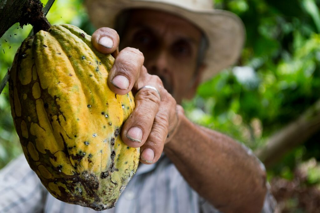 Farmer picking a cocoa fruit