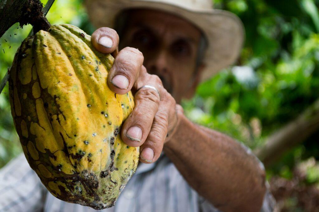 Bauer beim Pflücken einer Kakaofrucht
