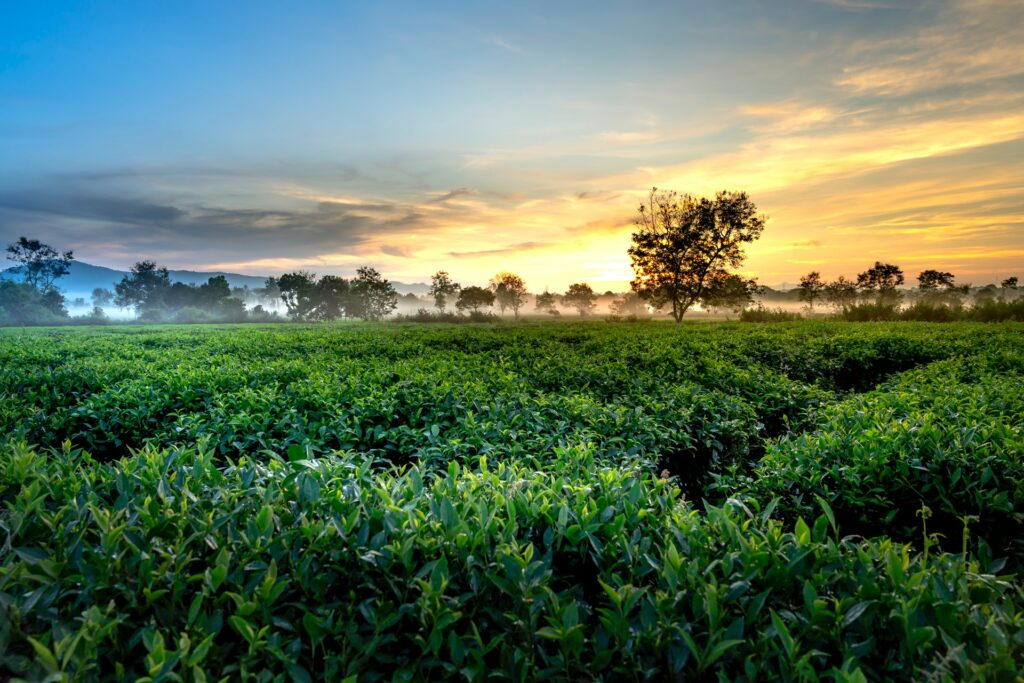 Tea plantation at sunrise
